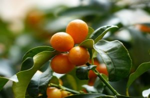 Winter Festivals and Events West Central Florida - Kumquat Festival
