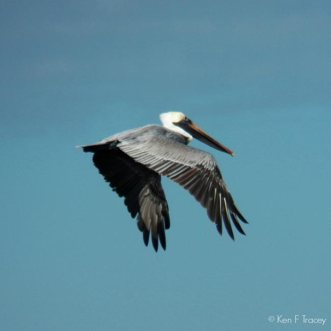 Brown Pelican © Ken F Tracey