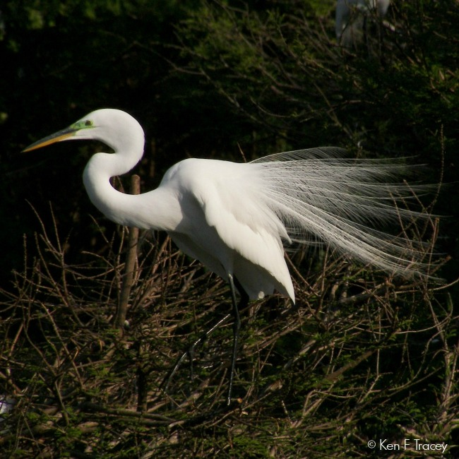 Great Egret © Ken F Tracey
