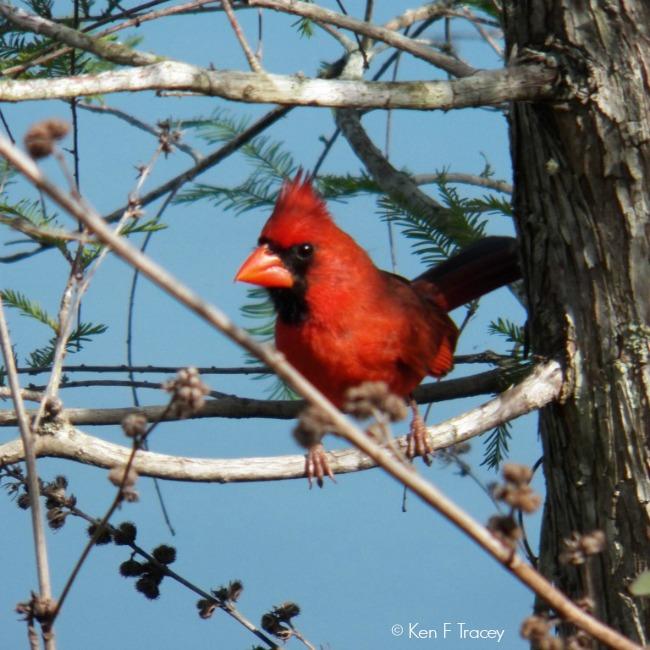 Northern Cardinal © Ken F Tracey