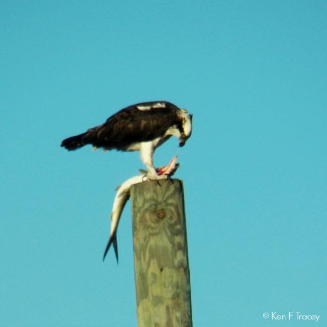 Osprey © Ken F Tracey