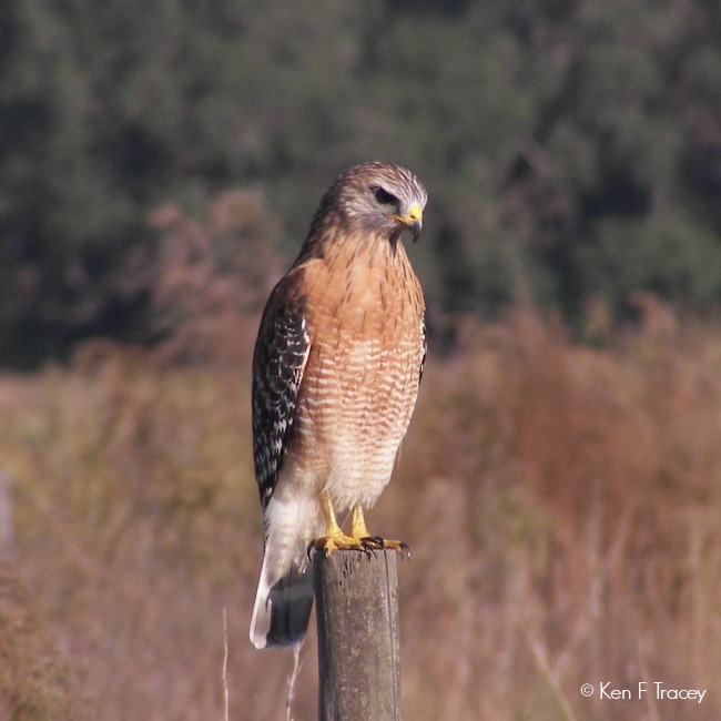 Red-shouldered Hawk © Ken F Tracey