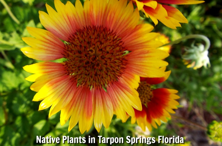 Learn More About Native Plants in Tarpon Springs Florida
