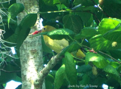 Scarlet Tanager female eating Red Mulberry fruit - photo by Ken F Tracey